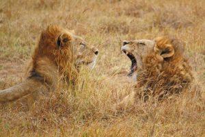 safari perfetto leoni