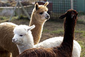 come-incontrare-gli-Alpaca-senza-andare-in-sud-america